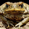 Thumbnail image for The Cane Toad: Man's Gamble At Controlling Nature