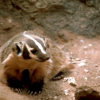 Thumbnail image for The Badger: Fierce, Neat And Proud
