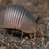 Thumbnail image for The Armadillo: Prehistoric Armour-Clawed Mammal