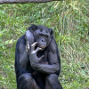 Thumbnail image for The Bonobo: Our Most Human Primate Cousin