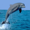 Thumbnail image for Dolphin: Our Love Affair With Our Favourite Cetacean