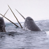 Thumbnail image for Narwhals: The Tusked Divers Of The Deep
