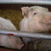 Thumbnail image for Odd News Stories: The Hidden Pig, The Lost Thermometer And The Man With The Bullet