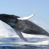 Thumbnail image for Humpback Whale: The Most Famous Singer Of The Oceans