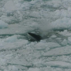 Thumbnail image for Antarctic Minke Whale: The Cold-Loving Whales