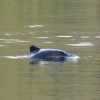 Thumbnail image for Chilean Dolphin: The Small Dolphin That Avoids People