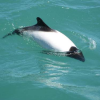 Thumbnail image for Commerson's Dolphin: One Of Nature's Most Colourful Dolphins