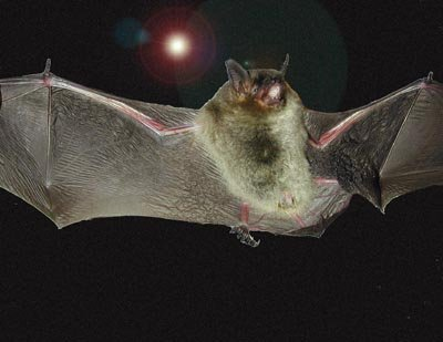 Bat Wing Types Of Bats Creatures Of Sophisticated Flight Echolocation