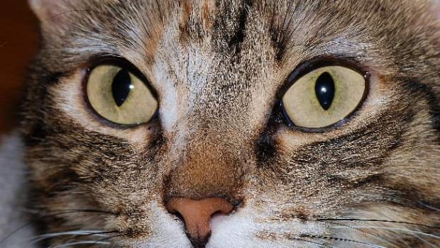 Cat Photo By Alvesgaspar Creative Commons ShareAlike Licence