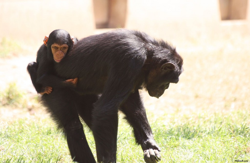 Chimpanzee And Baby Picture
