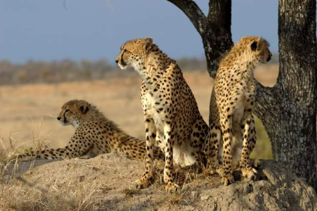 A Group Of Cheetahs In South Africa Photo By James Temple