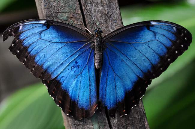 Blue Morpho Butterfly Photo By Derkarts Creative Commons ShareAlike Licence