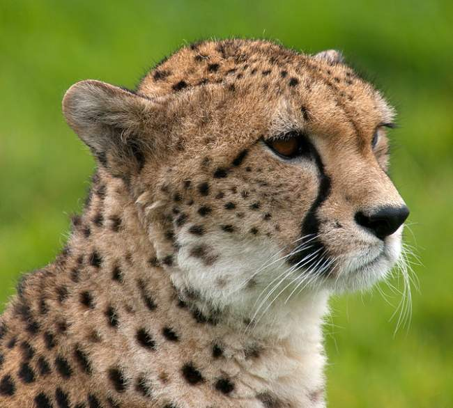 Cheetah Photo By William Warby