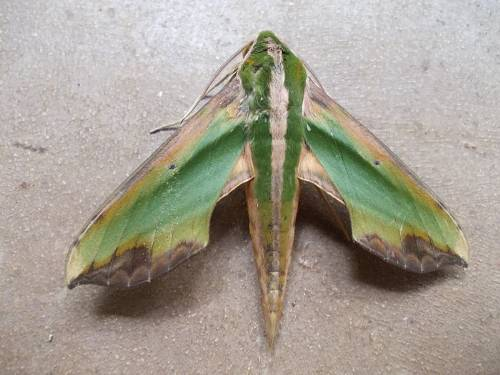 Leaf Shaped Moth