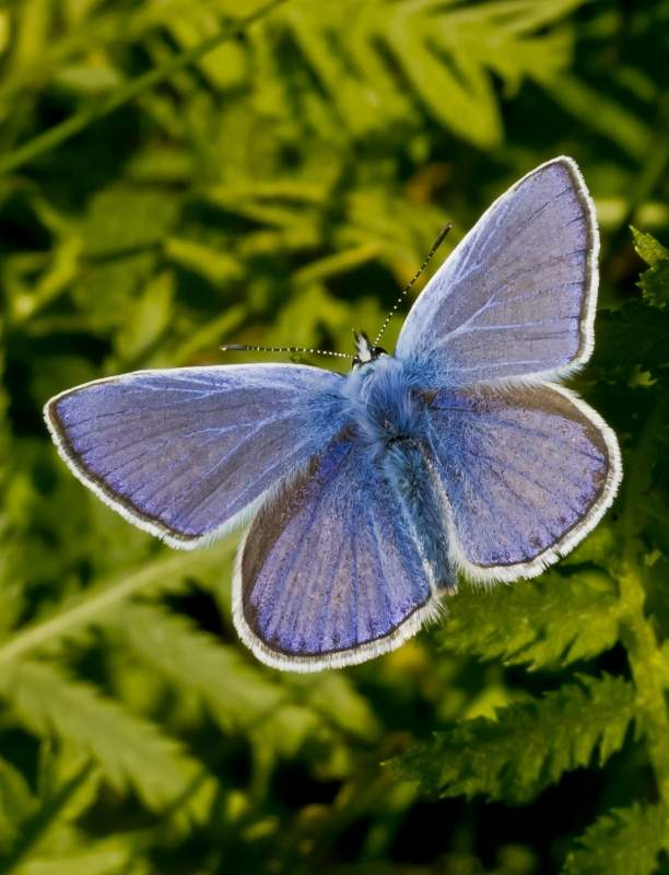 Polyommatus Icarus Butterfly Photo By Ocrdu Creative Commons ShareAlike Licence