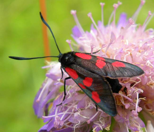 Six Spot Burnet Moth Photo By Mark A. Wilson Creative Commons ShareAlike Licence