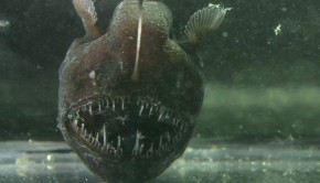 Humpback Anglerfish Photo By Javontaevious Creative Commons ShareAlike Licence