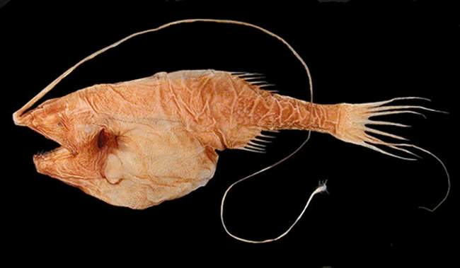 Whipnose Anglerfish Photo By Theodore W. Pietsch