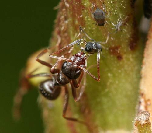 Ant Obtaining Honeydew From An Aphid Photo by Jmalik