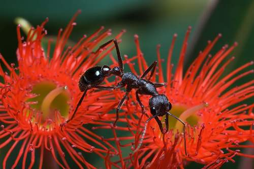 Bull Ant Photo By JJ Harrison