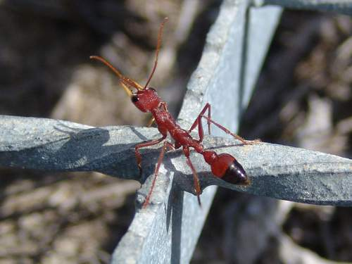 Red Bull Ant Photo By Peter Bertok