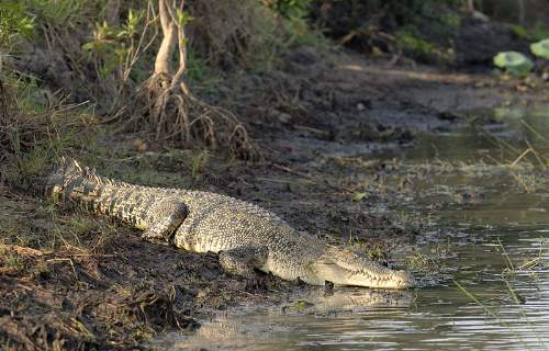 The Crocodile: Saltwater Crocodile Resting On A Riverbank Photo By Paul Thomsen