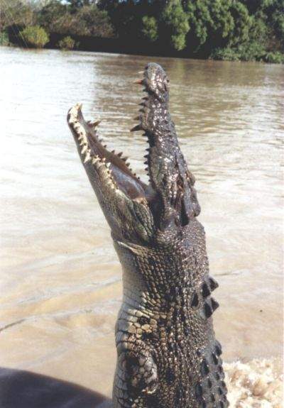 The Crocodile: Saltwater Crocodile (Stumpy) Photo By J. Patrick Fischer