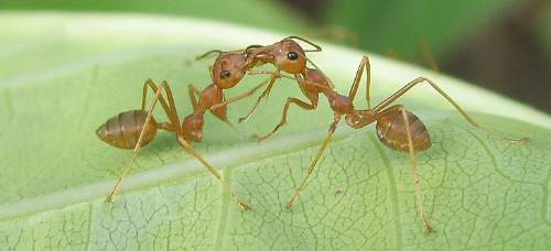 Weaver Ants Exchange Food Photo By Sean Hoyland