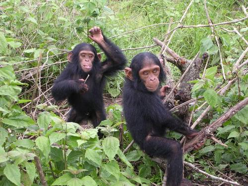 Young Chimpanzees At Play Photo By Delphine Bruyere