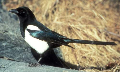 Black-Billed Magpie Photo By Dave Menke