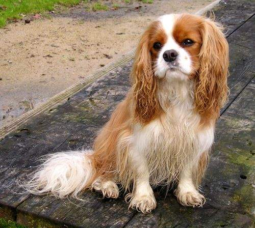 Cavalier King Charles Spaniel Photo By Ellen Levy Finch