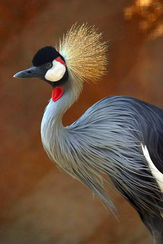Grey Crowned Crane Photo By Aaron Logan