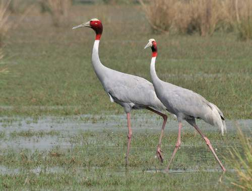 Indian Sarus Crane Photo By J.M. Garg