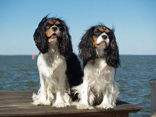 Cavalier King Charles Spaniels By David Shankbone