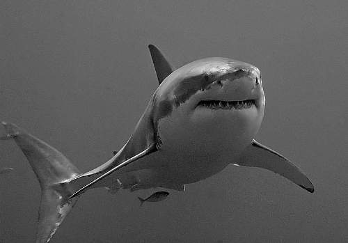 Great White Shark Photo By Terry Goss