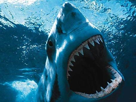 Great White Shark Picture (Image)