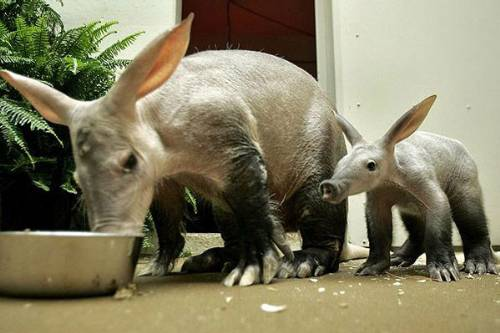 Aardvarks Photo By Scotto Bear