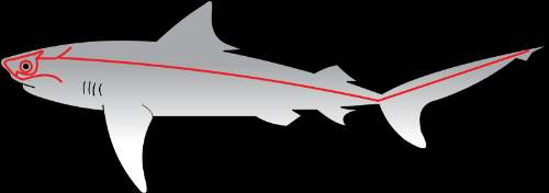 Sharks' Lateral Line Photo By Chris Huh