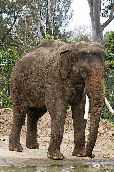 Indian Or Asian Elephant