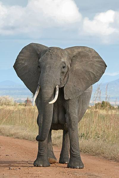 Female African Elephant Photo By Muhammad Mahdi Karim