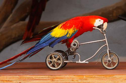 Scarlet Macaw Riding A Tricycle