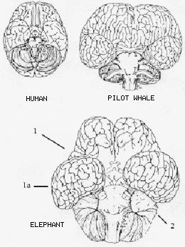 Human, Pilot Whale And Elephant Brain