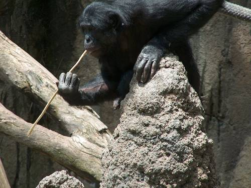 Bonobo Termite Fishing With A Stick