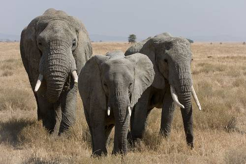 Female Herd Of African Elephants