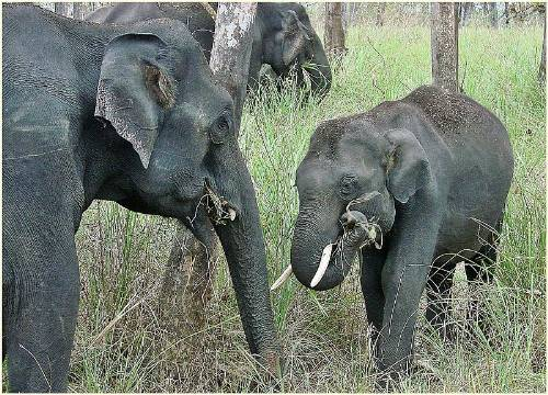 Indian Or Asian Elephants
