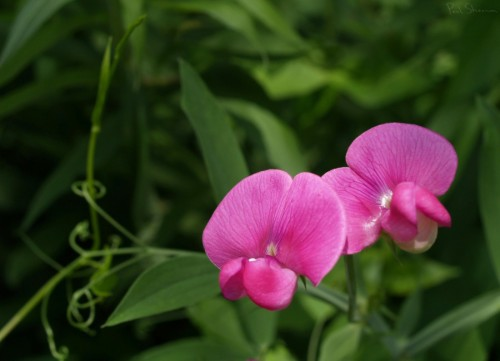 Sweet Pea Blossoms