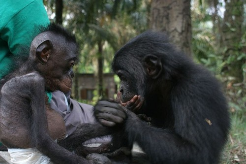 Young Bonobos