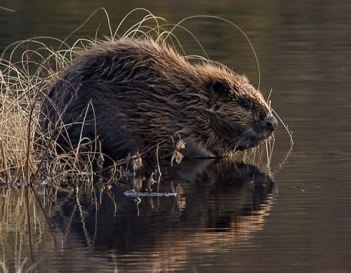 European (Eurasian) Beaver Photo By Harald Olsen