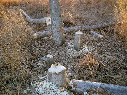 Trees Felled By Beavers