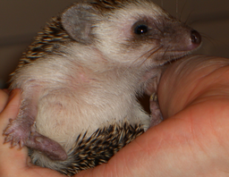 Hedgehog Capturing The Human Yellow Magpie